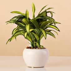 Planta Cordolyne con maceta Haus