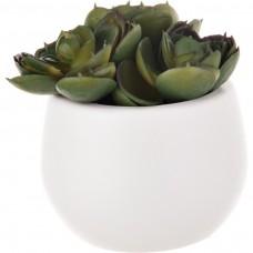 Planta mini cactus